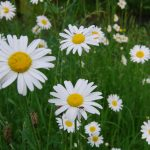oxeye daisies at Broadway Manor Cottages