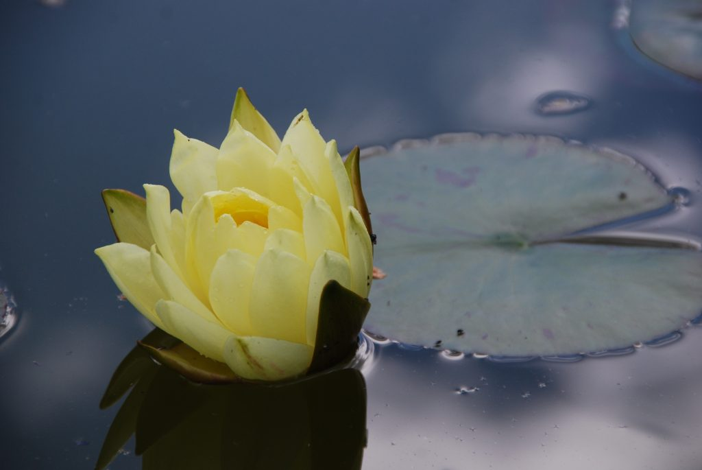Water lilies at Broadway Manor